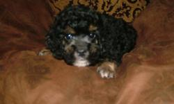 poodles poodles and more poodles, we are very sweet and have a great personality! We have lots of love to offer! current on all shots and worming! We come with puppy starter kits and offer potty training classes!