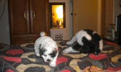 black and white poodles born 07/01/2011 they have there AKC papers I have 3 grils and one boy