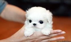 Ivy is a beautiful teacup Maltese girl. She is a little princess which we love dearly. She is going to be about 2 1/2 to 3 lbs full grown. She has a short compact body, adorable baby doll face, strong black points and beautiful eyes. She has a thick silky