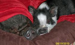 Othello and Desdemona live in Houston Tx and are need of a new home. We are looking for a home that will take both pigs. If you are interested Please contact us for more information Othello is 3 1/2 and Desdemona is 8 months old. Fully house trained,
