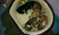 Born January 25th in Boca Raton. 2 brown, 1 black males & 1 brown female. Adult weight should be 5-6lbs. for the two smaller pups (1st & 2nd pictures) and 8-10lbs for the two larger pups. Ready for adoption NOW. Under veterinary care since birth. Will be