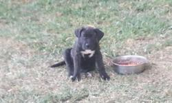 "Beautiful male and female puppies for sale.  Shots and deworming already done.  Excellent size and temperament.  Puppies have papers.  The best european lines.  Father weighs 145 lbs, 26 1/2"".  Mother weighs 115 lbs,"