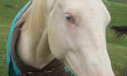 14.3, cremello AQHA mare, Doc o'lena bred. Foaled in July of 2007. rides in a snaffle, backs, will cross over, w/t/c,stands for baths and ferrier . No spook, rear, bite,buck. -- SERIOUS INQUERIES only. I may trade for a horse with more go.