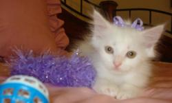 FLUFFY PRETTY LITTLE FEMALE KITTEN HALF PERSIAN HALF TABBY SHE IS NINE WKS OLD EATING GOOD AND GOING TO THE LITTERBOX SHE IS VERY SWEET AND ALL WHITE CALL 2814525599