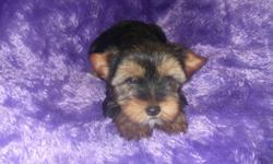 This is a very sweet little girl and she will come up to date on her puppy vaccines and wormings.Her mother is a traditional yorkie and the father is a chocolate yorkie.