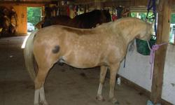 Approx 13H. 9 yr Gelding. Welsh Pony and Arabian. Would make good 4- H project. Smart and spunky. Not for beginner. Sweet. Especially pretty head. Showy. Is gorgeous when not so fat and has more care time. Some white feathers. One black spot on hip. Needs