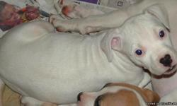Pretty solid white puppy. 9 weeks old, first shots weaned, paper trained. Parents bloodlines are Jeep/Redboy/Razors Edge.