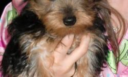 Priceless Yorkie Puppy-Where you'll Find The Puppy that you've always wanted! Quality is Not Expensive, It's Priceless!Where Quality Matters, Not Quality. Priceless Yorkie Puppies: Quality is not cheap, It's Priceless. Tiny AKC Yorkie/Yorkshire Terrier