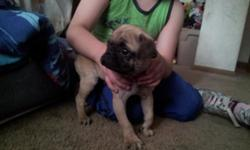 adorable pug looking for a new home, 3 months old for more information -- ask for aaron