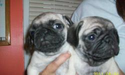 2 Chinese Pug puppies. One male, one female, 8 weeks old. CKC Registered. Healthy, happy, fun, very loving and loyal. Great demeaner, perfect for children.