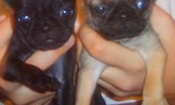 full breedPug puppies born august 21st ,Ready to go have been dewormed have not gotten their shots,Have four females three fawn and one black.Asking price is 300 Live near larimore n.d.if you have any more questions contact me at wilkieamber@yahoo.com