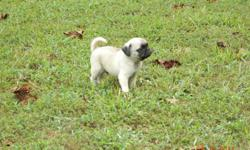 AKC Reg Pug puppies for sale. They have been vet checked and UTD on shots. We have 4 males currently available and they are fawn color D.O.B 7/11/11. I am asking $300 OBO. If you have any questions please call (276)629-2192