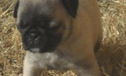 I have 3 beautiful ckc pug puppies for sale...All my puppies are home raised and not raised in a kennel...They will be utd on their shots and dewormed as well..Also as soon as they start to walk we take them outside to start housebreaking them...Call me