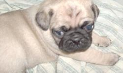 Pug puppies, c.k.c., 2 fawn males, first shots and wormed twice, each comes with a puppy care package which includes: puppychow, food&water dish, squeaky toy, chew bone, a ball, a collar, pee pee pads and a folder 2 hold paper work in..$350.00..please
