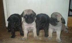 Two black males, two fawn males, and three fawn females. Very healthy and ready for new homes. Please call 513-421-3015.