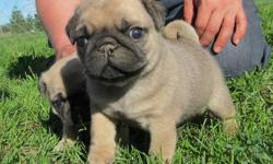 pug puppies male and females  This is Ava, she is the petite one out of the litter. But she is dynamite, a lot of power in a small package. She is always the first in line at mea. contact for more details