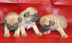 Taking Deposits on 3 Playful Female Pug puppies. Mom is an Apricot Fawn and Daddy is an Apricot. Both registered and pedigreed. Puppies will be ready to go home with their new family when they are 8 week old (2/26). They will be wormed and up to date on