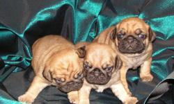 Taking Deposits on 2 Playful Female Pug puppies 1 Apricot has been sold there are 2 left. Mom is an Apricot Fawn and Daddy is an Apricot. Both registered and pedigreed. Puppies born on 1/1/11 will be ready to go home with their new family when they are 8