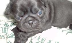 Pug puppy, c.k.c., black female, first shots and wormed twice, comes with a puppy care package which includes: puppychow, food&water dish, squeaky toy, chew bone, a ball, a collar, pee pee pads and a folder 2 hold paper work in.$400.00..please call:850