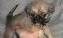 I only have one boy ($100) and one girl ($150) left. They are very playful and loving puppies. They look like a Pug with medium hair. The little girl likes to snuggle but the boy is lots more out-going and rambunctious. He needs children to romp in the