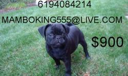 CUTIE PIE, SOLID BLACK PUG, EXCELENT AROUND CHILDREN, POTTY TRAINED, HOUSEBROKEN, INDOOR PUPPY, VERY ACTIVE AND FULL OF JOY, IDEAL PUP IF YOU LIVE IN A CONDO OR APARTMENT, MAKES A GOOD COMPANIONSHIP, HE HAS BEEN GIVEN FIRST MULTIPLE SHOT AGAINTS, PARVO,