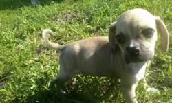 Tiny Miniature Pocket Puggle puppies for sale in South Florida. SUPER CUTE AND TINY litter of puggles! These gorgeous designer breed puppies are out of a purebreed Pug and purebreed Beagle. Located near the Fort Lauderdale area. Our Puggles for sale have