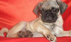 Pug, Male, Female, Small, $475.00 Firm MORE DEATAILS AND PICTURES AT...619-408-4214