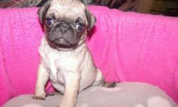 CUTE PUGS FOR SALE READY FOR THEIR NEW HOMES, VERY SWEET, PLAYFULL AND ACTIVE, 2 MALES AND 2 FEMALES, HAVE BEEN GIVEN THEIR FIRST SHOT AGAINTS PARVO, PARASITES AND BEEN DEWORMED ASWELL MORE INF...AT 619-408-4214