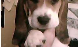 bassett hound beagle mix puppies ready for a good home mom and dad on site small dogs only get to about 45lbs full grown.