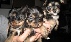I have 3 puppies 1/2 yorkie 1/2 chihuahua black with brown marking ready to go in 1 week also have a another 5 puppies that will be  ready to go in 2 weeks they have the same marking daddy was a yorkie mom was chihuahua asking 350.00 ea we