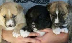 Shep & Husky 4 Black with tan and white marking, some blue eyes. 2 Females 2 Males 1 Tan Female with blue eyes 1 Brindle Female with blue eyes Ready to go to new homes with a yard by Dec 1st. Call to reserve the one you want. e-mail