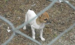 Tri color Jack Russel Terriers 2 males parents on site they are 4 months old