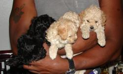i have three puppies for sale, two males & one female. the mother is a cockapoo (ckc), she is black, father is a toy poodle (akc) and he is white. the female puppy is tan, and i have a black male and a tan male. thay have had there first set of shots.