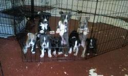 AMERICAN PITBULL PUPPIES FOR SALE (14 Weeks Old) Veterinarian papers of health records up dated 4-FEMALES $400 4-MALES $350