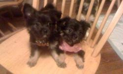 We have 6 healthy pomeranian mix puppies for sale. They are ready to go and we are looking for a warm and loving home for our puppies to go into. We have 4 girls and 2 boys. They are $450. We have 3 black girls & 1 white boy & 1 white girl & 1 gold and
