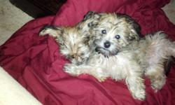 12 wk old puppies for sale yorkie, Maltese, Shiv tzu, they have there papers and shots text me for more pics
