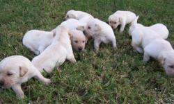 Lab Puppies, Yellow, AKC, Champion Blood-Lines, Vet Checked, 1st Shots, All Papers, Family Raised, Mom on Site. Pick one out now, Ready for Christmas,  $650.  Text  -- or Call  --