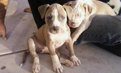 Beautiful pitbull pups ready for new wonderful homes!! There are 2 girls and 1 boy. Healthy beautiful pups. They will be 10 weeks on December 3rd. Already received their first shot. These are lovable great puppies. Rehoming fee will apply. Please only
