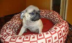 PUPPIES PUG TWO FEMALES HAVE 2ND VACCINATION AND DEWORMED 12 WEEKS OLD READY FOR NEW HOME