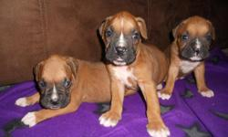 puppy boxers 2 females and 1 male fawn color (brown and white)