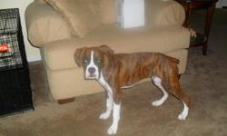 Rosco is a very intelligent fun loving Boxer. He is 11 mounths old, has all his shots and been wormed. He is house trained and has some leash training. Rosco loves kids, people and other dogs. He wants a lot of huggs, love and attention. More that I can