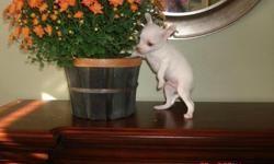 Pure bred chihuahua puppies apple head asking 300.00 with shots call --