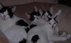 Just in time for Christmas! Adorable Black and White Van females born June 18th, 2010. $250 each. One young adult @$150.