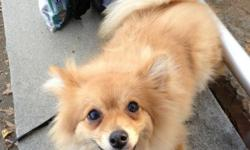 I am unfortunately looking to sell my pure bred, male Pomeranian Teddy. Teddy is one year old and is a very active and intelligent dog. I have had Teddy since July 2012. I am having to get rid of Teddy because due to my work hours I am rarely home to
