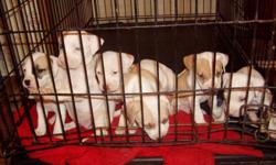 Pure bred pit bull puppies for sale. They were born October 4, 2010. There are 3 females and only 1 male. Dad is an American McCoy and mom is half American half Red Nose. If you are interested please feel free to call me at 561-558-2700.