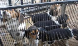 MY BEAGLE PUPPIES NEED A HOME. Beagles are great Pets and Friends. We have four pure-breed beagle puppies for adoption. They are tri-colored (brown, black, and white), and very healthy. Beagles as a breed are healthy dogs that has lots of energy and are