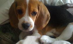 Mack is a 14 week old pure breed puppy. Due to my current financial situation and my apartments pet restrictions I am sadly forced to sell him. He is up to date on all vaccinations and dewormings. He is currently crate trained and well on his way to being