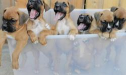 We have 9 boxer pups for sale. Males: 1 brindle 2 fawn. Females: 2 brindle 4 fawn. Pups were born on 7-1-11 and ready for homes on 8-26-11 at 8 weeks. Pups have vaccinces, tail docked, declawed, dewormed, & health exam. All work done at Fillmore animal