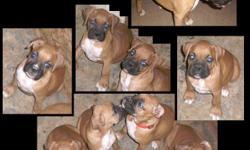 Pure Breed Boxer pups 3 female pure breed boxers pups, 8 weeks, fawn, dock tales, declawed, 1st shots. $250.00 OBO 626-246-4035 (call or text)