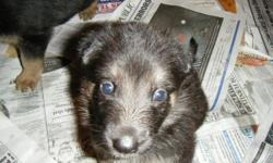 very cute german shephard puppys for sale to a good family home.we have 3 male and 1 female left